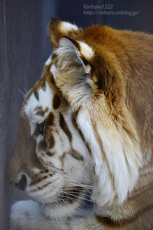2020.4.4 東北サファリパーク☆ゴールデンタビータイガーのステラちゃん【Golden tabby tiger】_f0250322_19130571.jpg