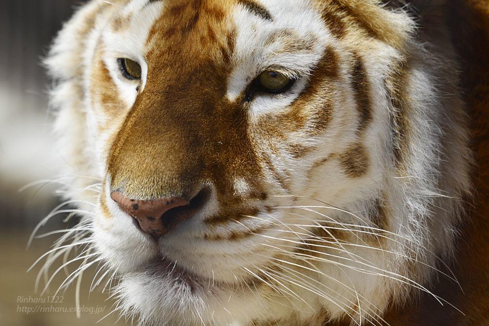 2020.4.4 東北サファリパーク☆ゴールデンタビータイガーのステラちゃん【Golden tabby tiger】_f0250322_19132183.jpg