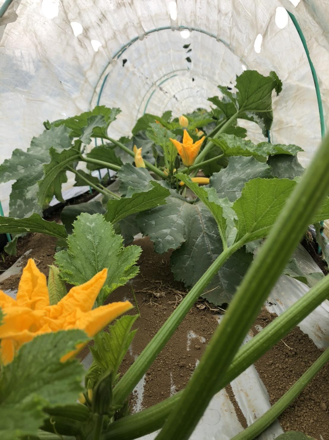 今週はズッキーニの花&蚕豆 グリンピース スナップエンドウが まさに旬です ジョイアオリジナル料理に沢山登場いたします_c0222448_14552493.jpg