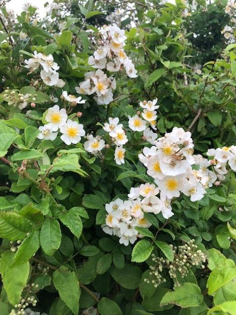 今週はズッキーニの花&蚕豆 グリンピース スナップエンドウが まさに旬です ジョイアオリジナル料理に沢山登場いたします_c0222448_14564448.jpg