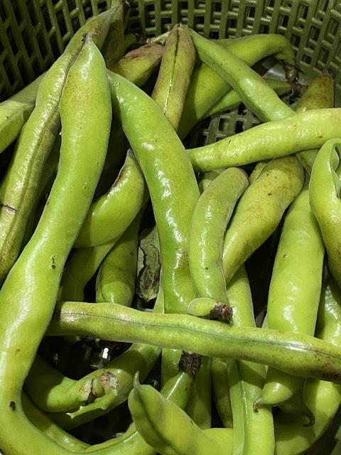今週はズッキーニの花&蚕豆 グリンピース スナップエンドウが まさに旬です ジョイアオリジナル料理に沢山登場いたします_c0222448_15052347.jpg