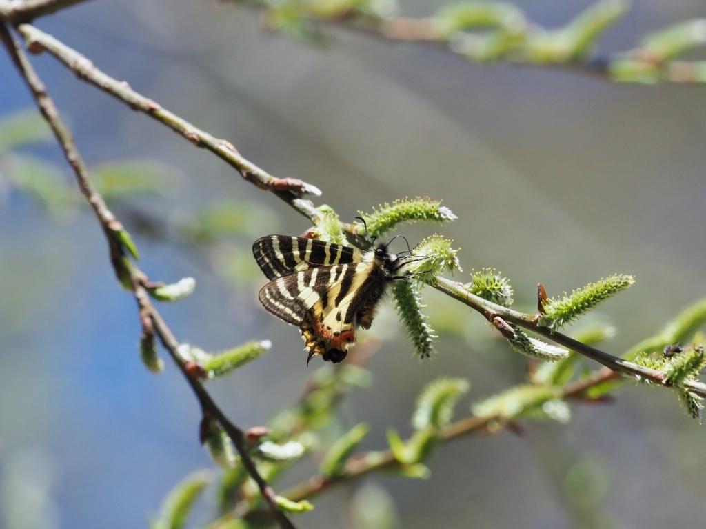 ヤナギとサクラで吸蜜するヒメギフチョウ_e0224357_16441667.jpg