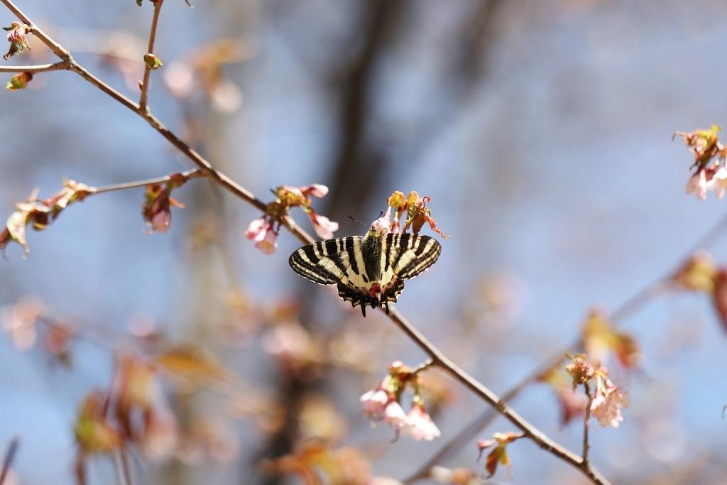 ヤナギとサクラで吸蜜するヒメギフチョウ_e0224357_16550986.jpg