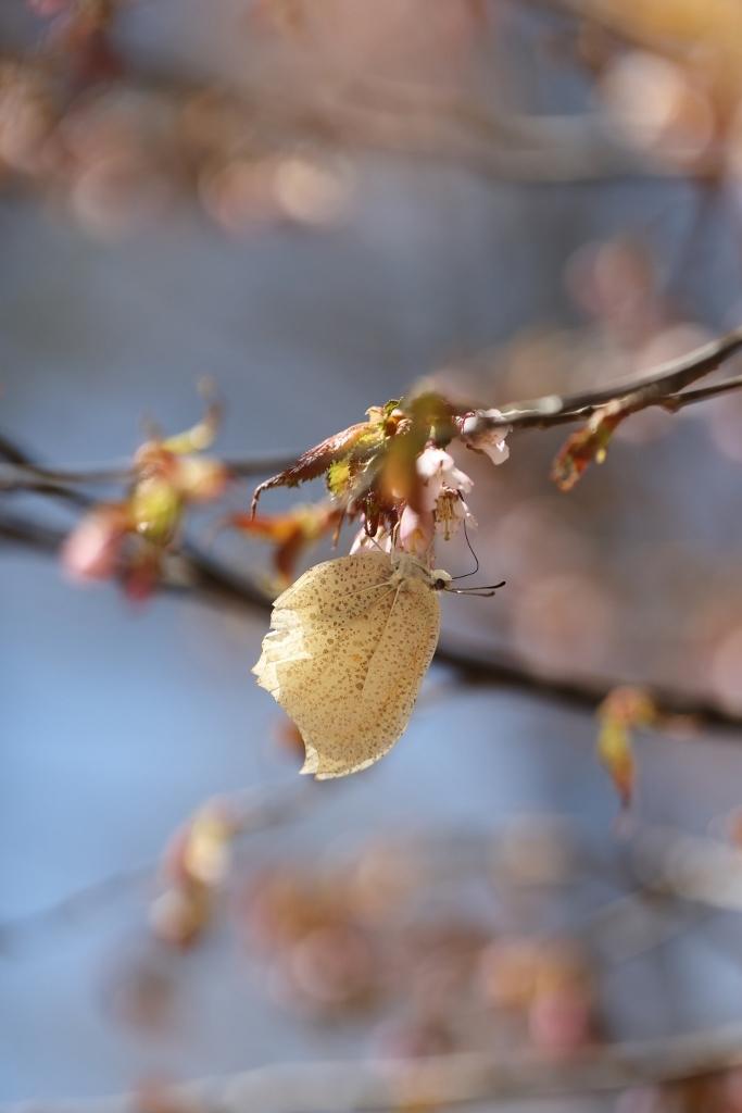 ヤナギとサクラで吸蜜するヒメギフチョウ_e0224357_17061181.jpg