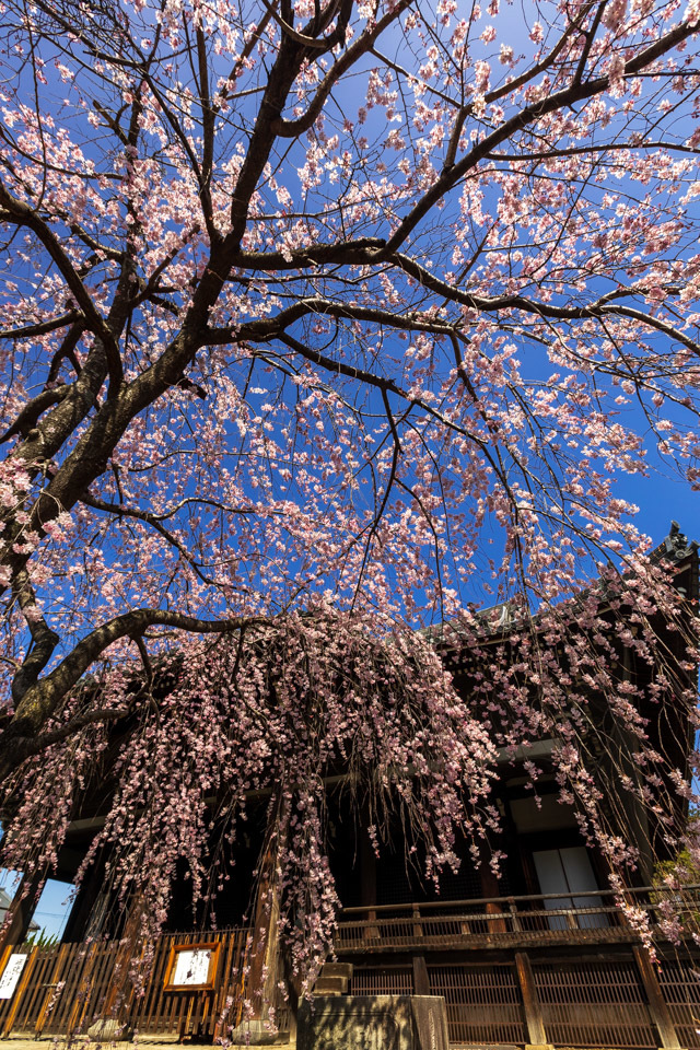桜 2021 立本寺 枝垂れ桜! _b0128581_18354898.jpg
