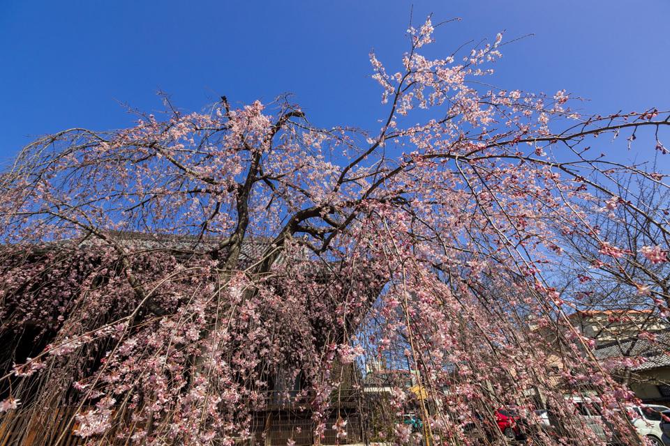 桜 2021 立本寺 枝垂れ桜! _b0128581_18360867.jpg