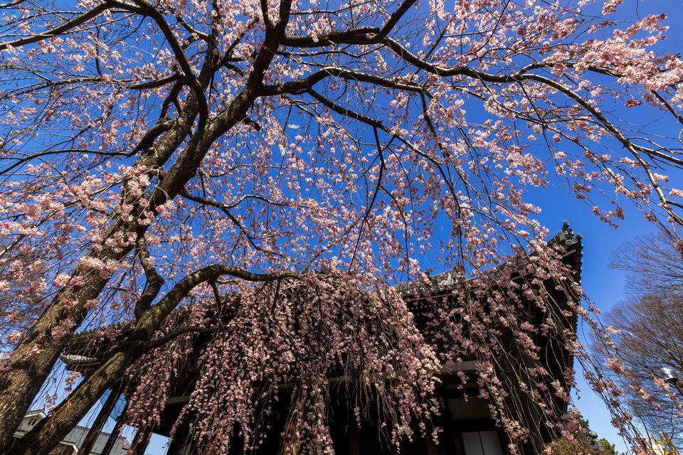 桜 2021 立本寺 枝垂れ桜! _b0128581_18361866.jpg