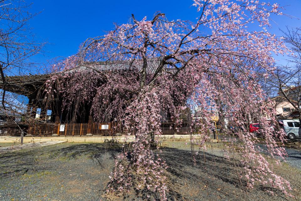 桜 2021 立本寺 枝垂れ桜! _b0128581_18363869.jpg