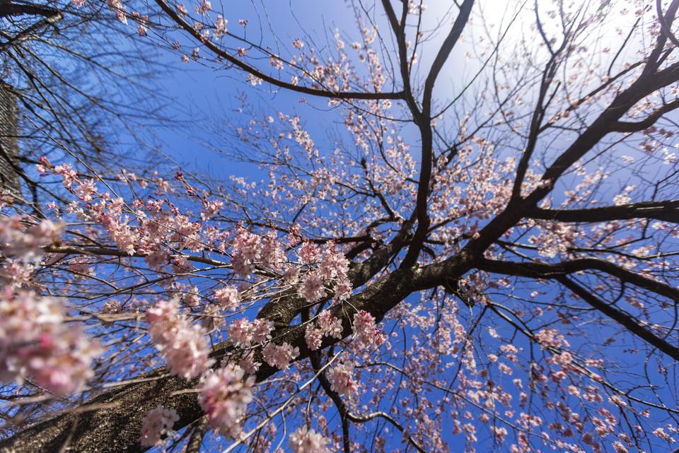桜 2021 立本寺 枝垂れ桜! _b0128581_18364963.jpg