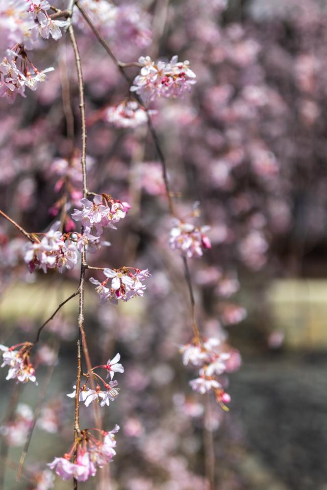 桜 2021 立本寺 枝垂れ桜! _b0128581_18365773.jpg