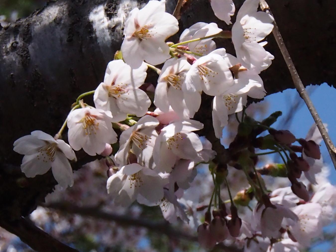東明公園で花見、少し遠出して美唄へ_c0360399_21283199.jpg