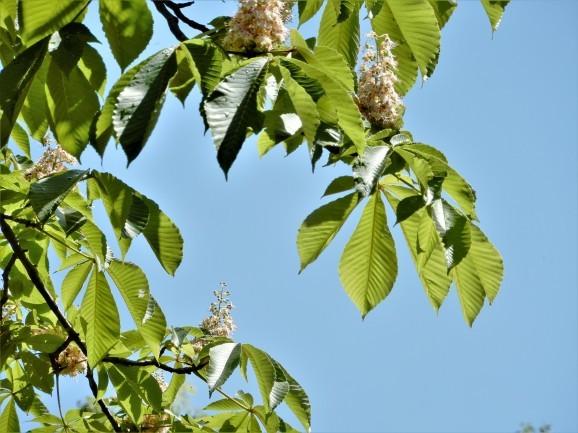 栃の花、セイヨウトチノキの花(deux sortes de marronniers)_c0345705_07162669.jpg