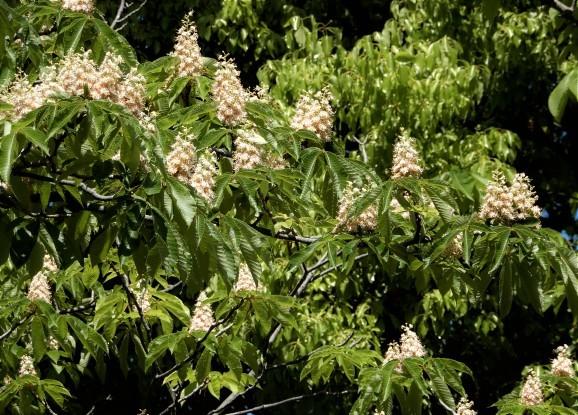 栃の花、セイヨウトチノキの花(deux sortes de marronniers)_c0345705_07185418.jpg