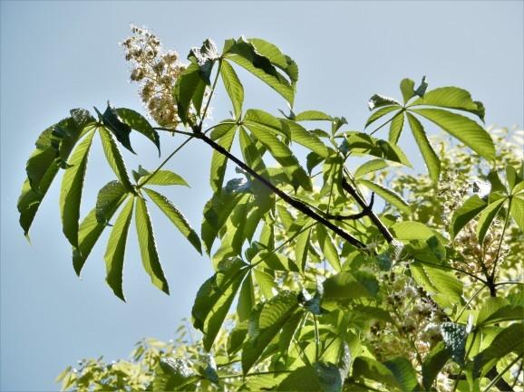 栃の花、セイヨウトチノキの花(deux sortes de marronniers)_c0345705_07215384.jpg