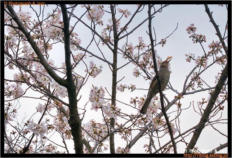 上野の鳥 Part 3_b0134013_04241720.jpg