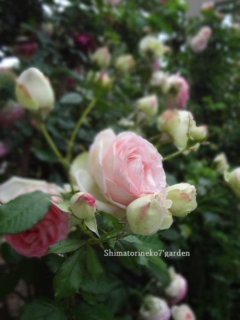 咲き終わったバラの花殻切りと剪定_a0232921_17072951.jpg