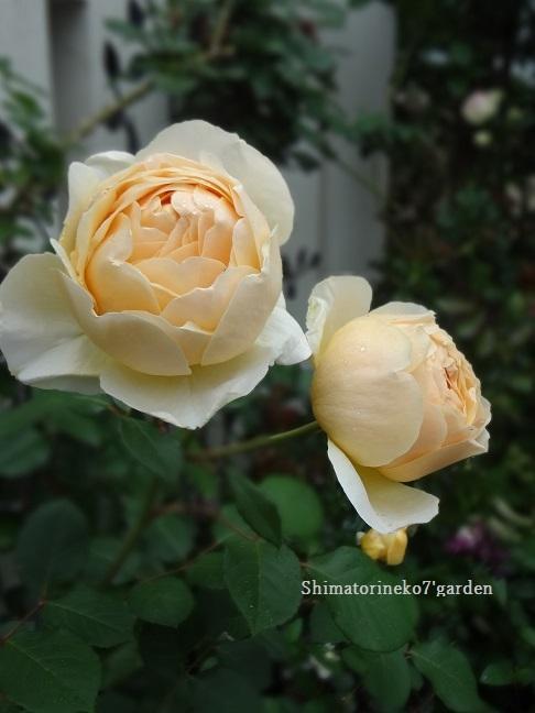 咲き終わったバラの花殻切りと剪定_a0232921_17091726.jpg