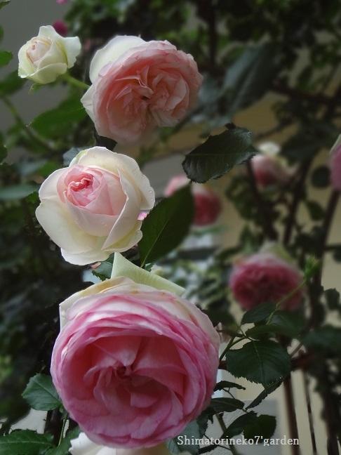 咲き終わったバラの花殻切りと剪定_a0232921_17093652.jpg