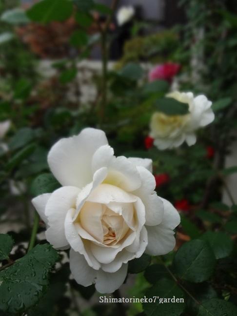 咲き終わったバラの花殻切りと剪定_a0232921_17095119.jpg
