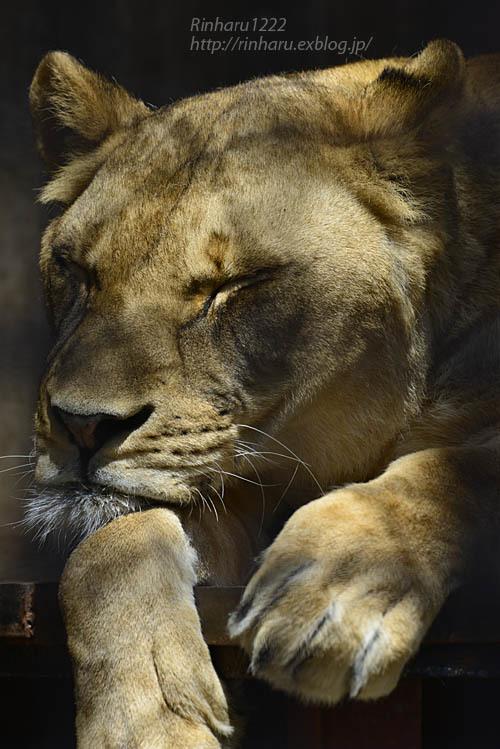 2020.4.14 宇都宮動物園☆ライオンのミミーとオーヴ【Lions】_f0250322_22000318.jpg