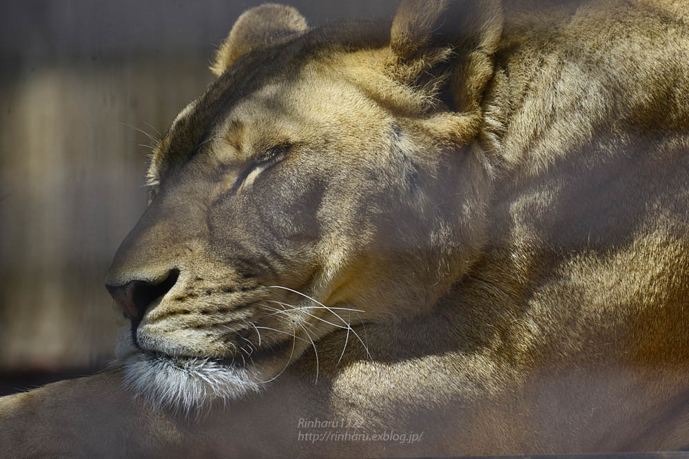 2020.4.14 宇都宮動物園☆ライオンのミミーとオーヴ【Lions】_f0250322_22001271.jpg