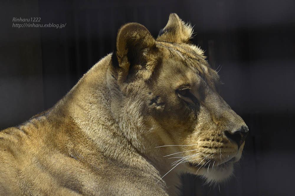 2020.4.14 宇都宮動物園☆ライオンのミミーとオーヴ【Lions】_f0250322_22002197.jpg