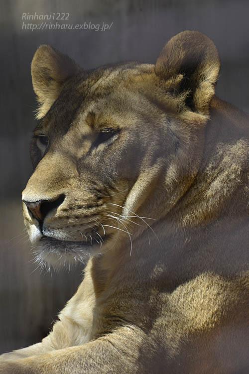 2020.4.14 宇都宮動物園☆ライオンのミミーとオーヴ【Lions】_f0250322_22003264.jpg