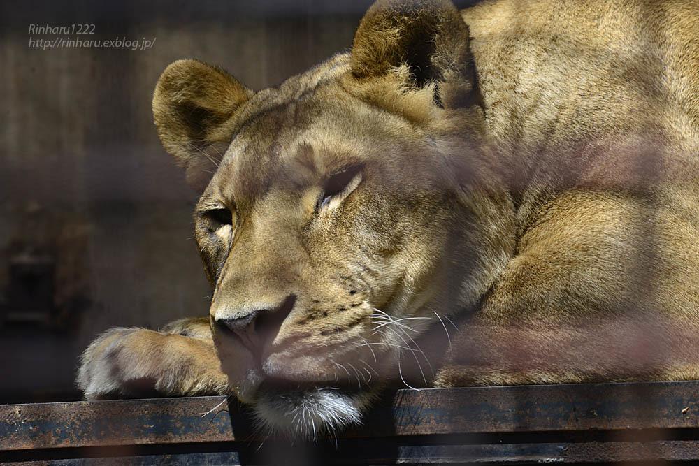 2020.4.14 宇都宮動物園☆ライオンのミミーとオーヴ【Lions】_f0250322_22004920.jpg