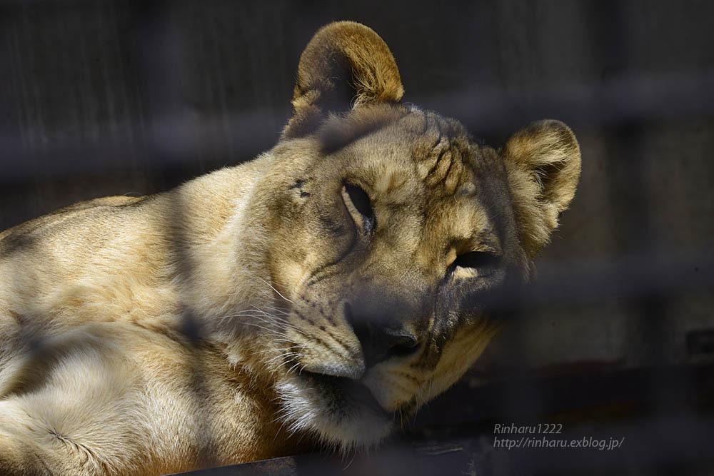 2020.4.14 宇都宮動物園☆ライオンのミミーとオーヴ【Lions】_f0250322_22005728.jpg