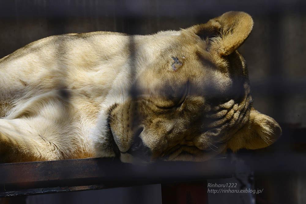 2020.4.14 宇都宮動物園☆ライオンのミミーとオーヴ【Lions】_f0250322_22011428.jpg