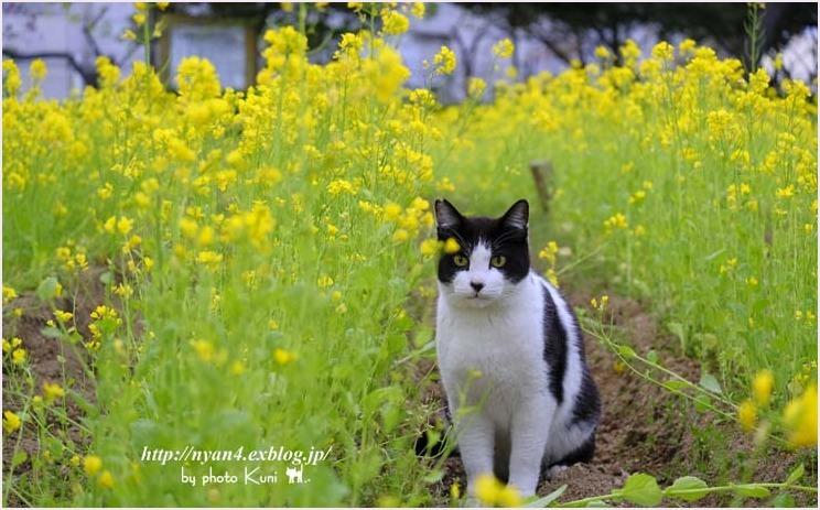 菜の花と猫_f0166234_08515400.jpg