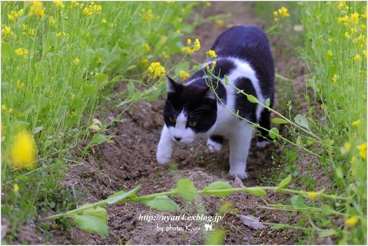菜の花と猫_f0166234_08523430.jpg