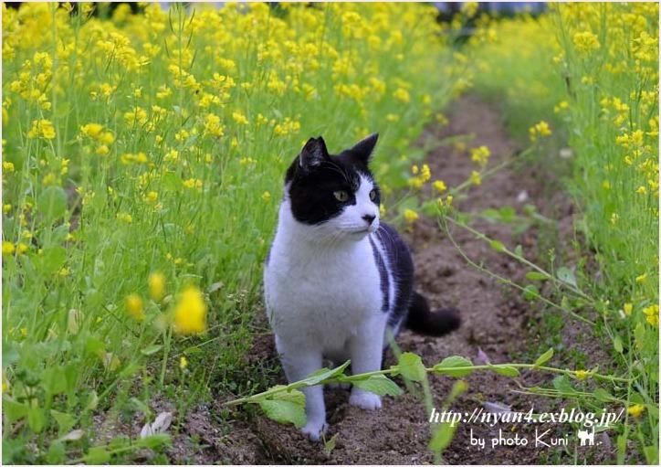 菜の花と猫_f0166234_08541374.jpg