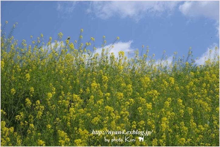菜の花と猫_f0166234_08555977.jpg