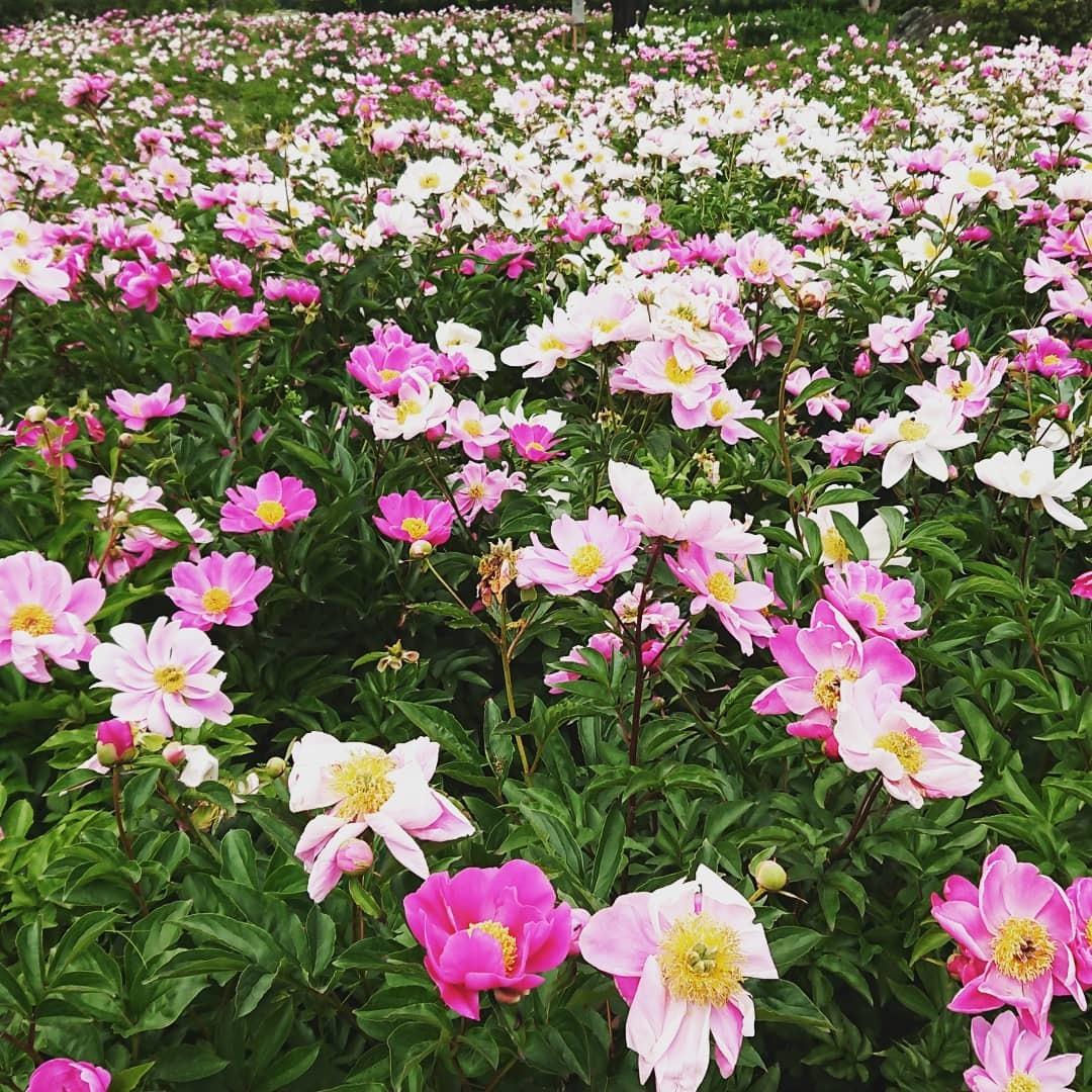 つくば牡丹園「花筏」_f0323446_18362325.jpg