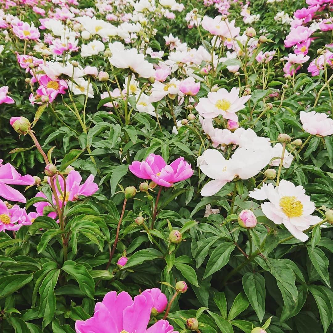 つくば牡丹園「花筏」_f0323446_18370843.jpg