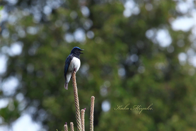 オオルリ(Blue-and-White Flycatcher[)_d0013455_17555860.jpg
