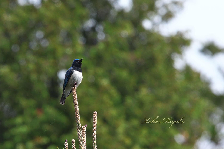 オオルリ(Blue-and-White Flycatcher[)_d0013455_17560462.jpg