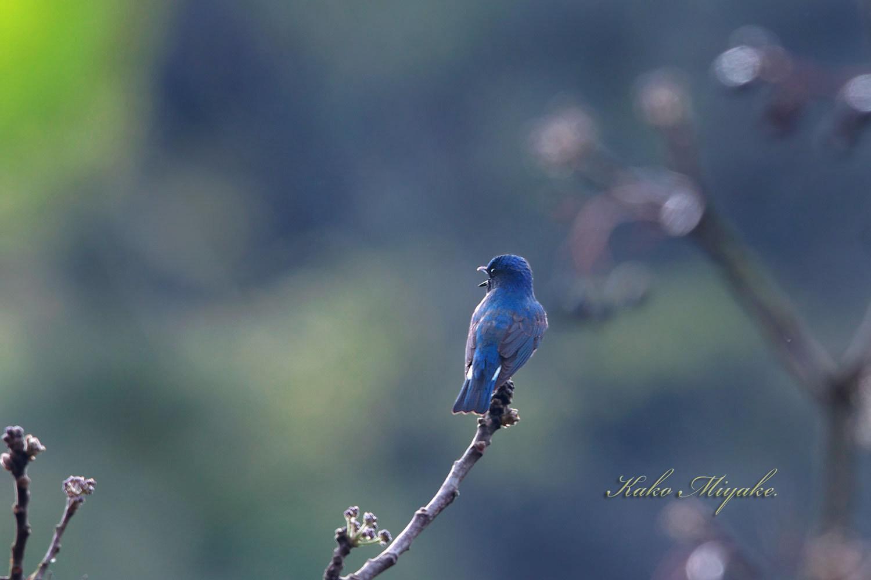 オオルリ(Blue-and-White Flycatcher[)_d0013455_17561048.jpg