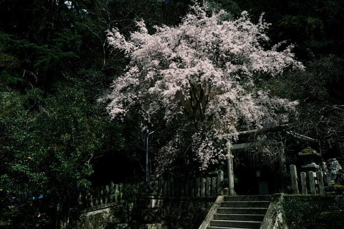 京都 桜 2021_f0021869_21300443.jpg