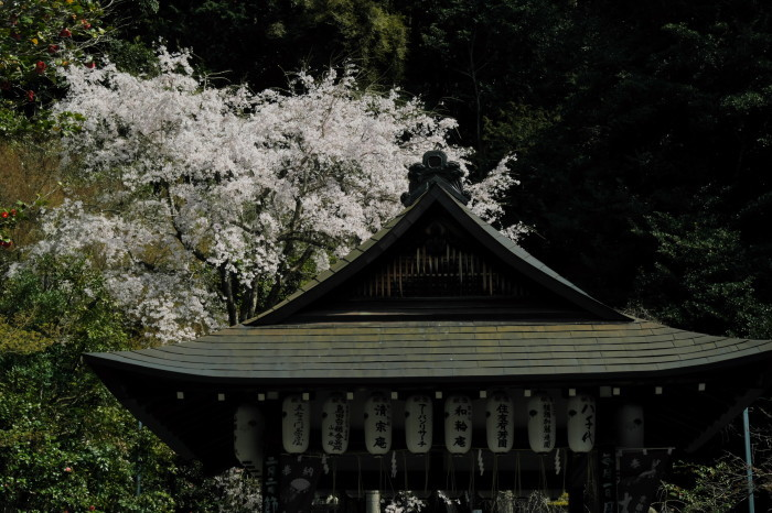 京都 桜 2021_f0021869_21300486.jpg