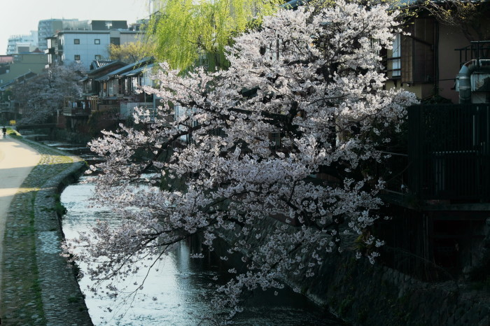 京都 桜 2021_f0021869_21555553.jpg