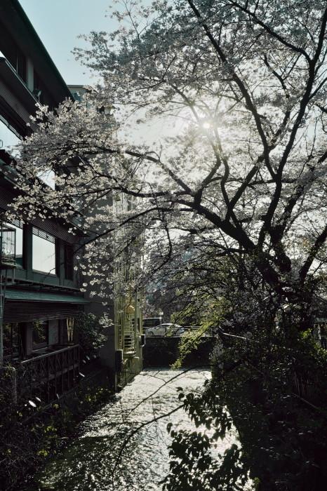 京都 桜 2021_f0021869_22065251.jpg