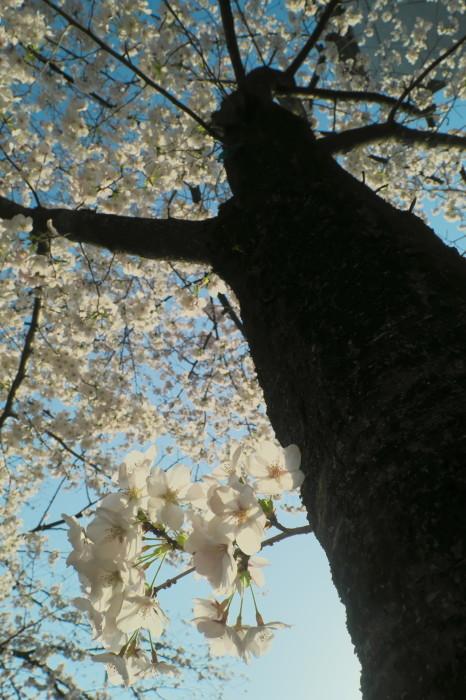 京都 桜 2021_f0021869_22091060.jpg