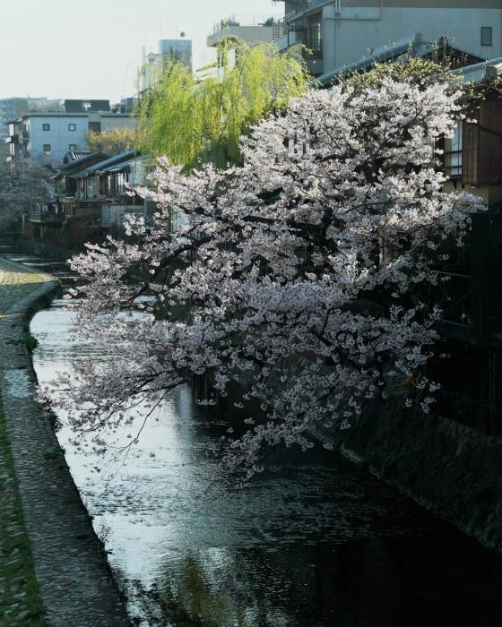 京都 桜 2021_f0021869_22091101.jpg