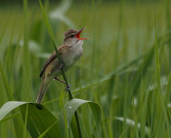 夏鳥オオヨシキリ_b0227680_23084145.jpg