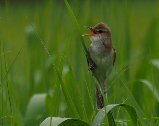 夏鳥オオヨシキリ_b0227680_23084835.jpg