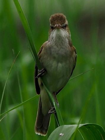 夏鳥オオヨシキリ_b0227680_23175387.jpg