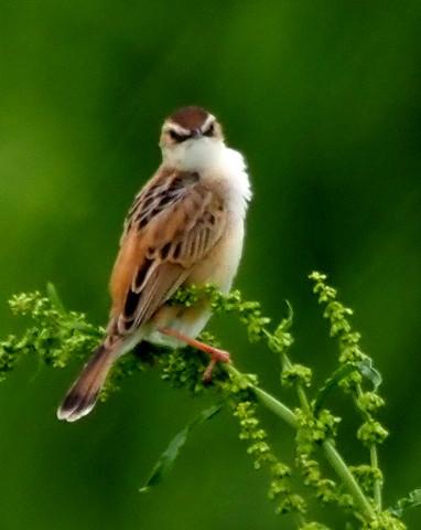 夏鳥セッカ_b0227680_23322551.jpg