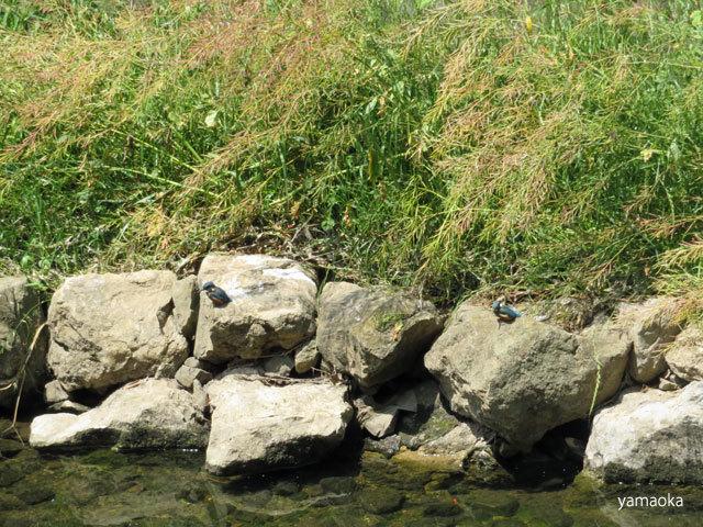 五羽の翡翠の幼鳥が!!_f0071480_17133215.jpg